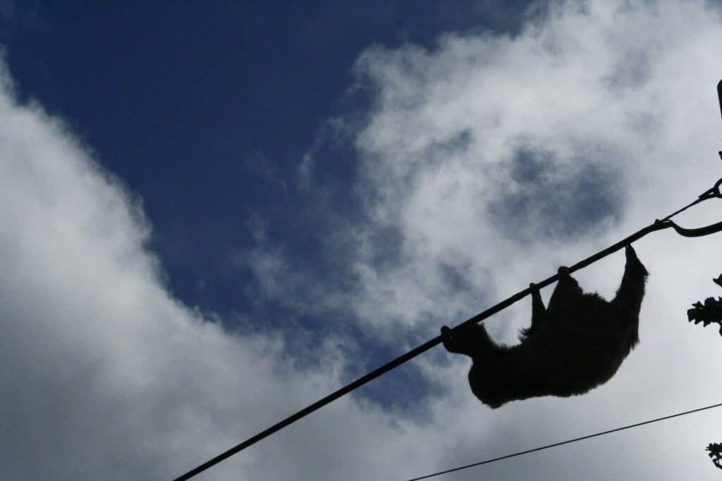 Un oso perezoso cruza por el cable eléctrico. Tilarán, Guanacaste, Costa Rica.
