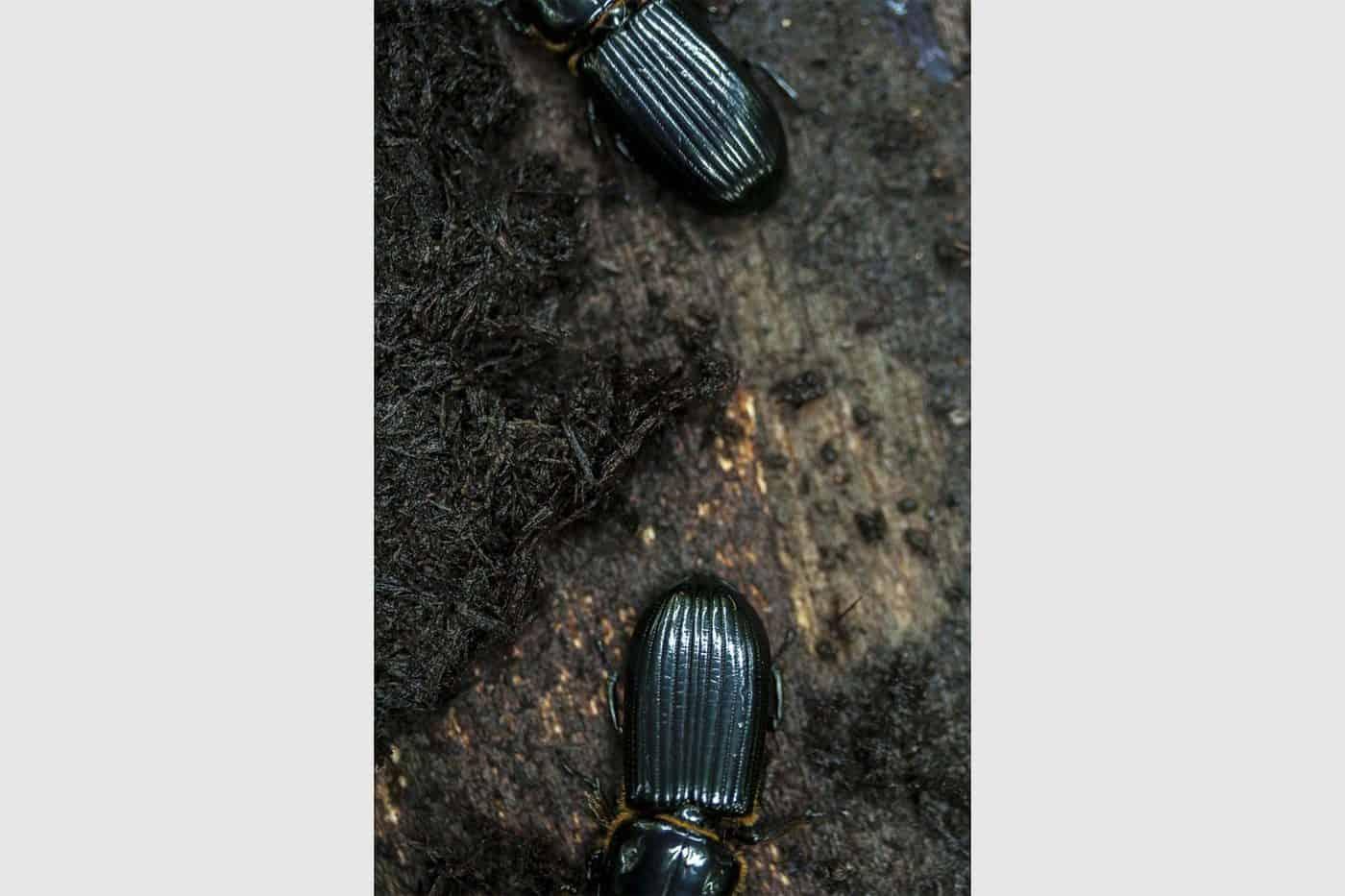 Escarabajos.