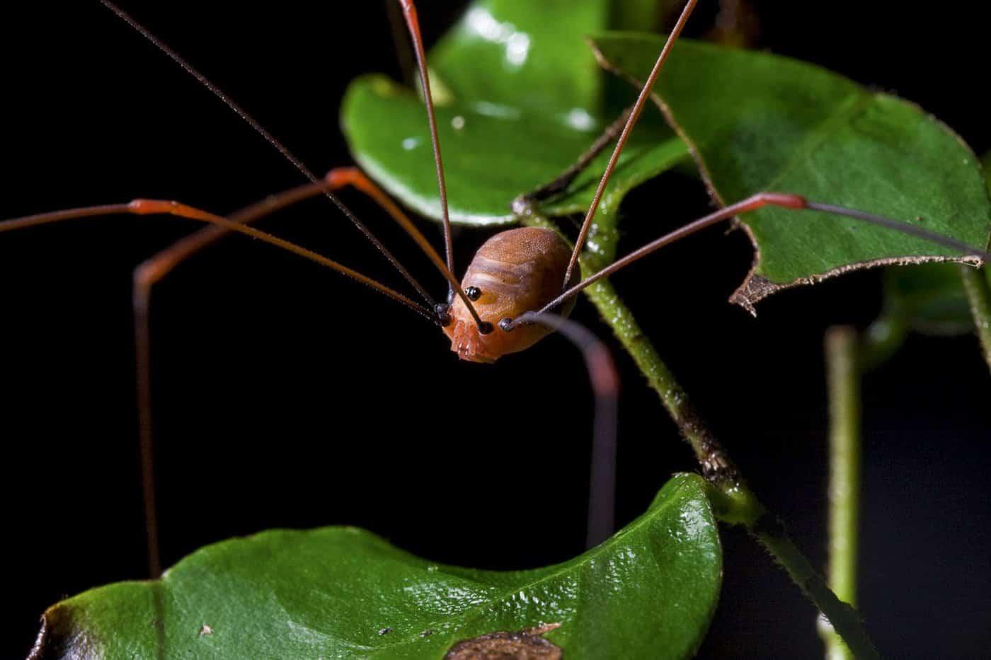 Arañas patonas, Opiliones.