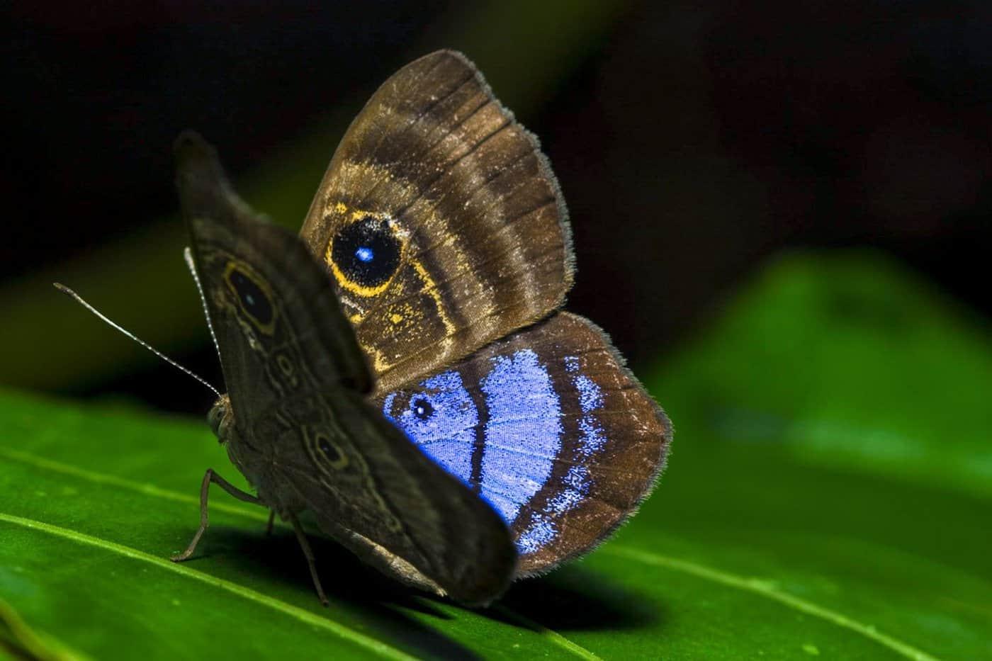 Orden Lepidoptera Mariposas de género Morpho.