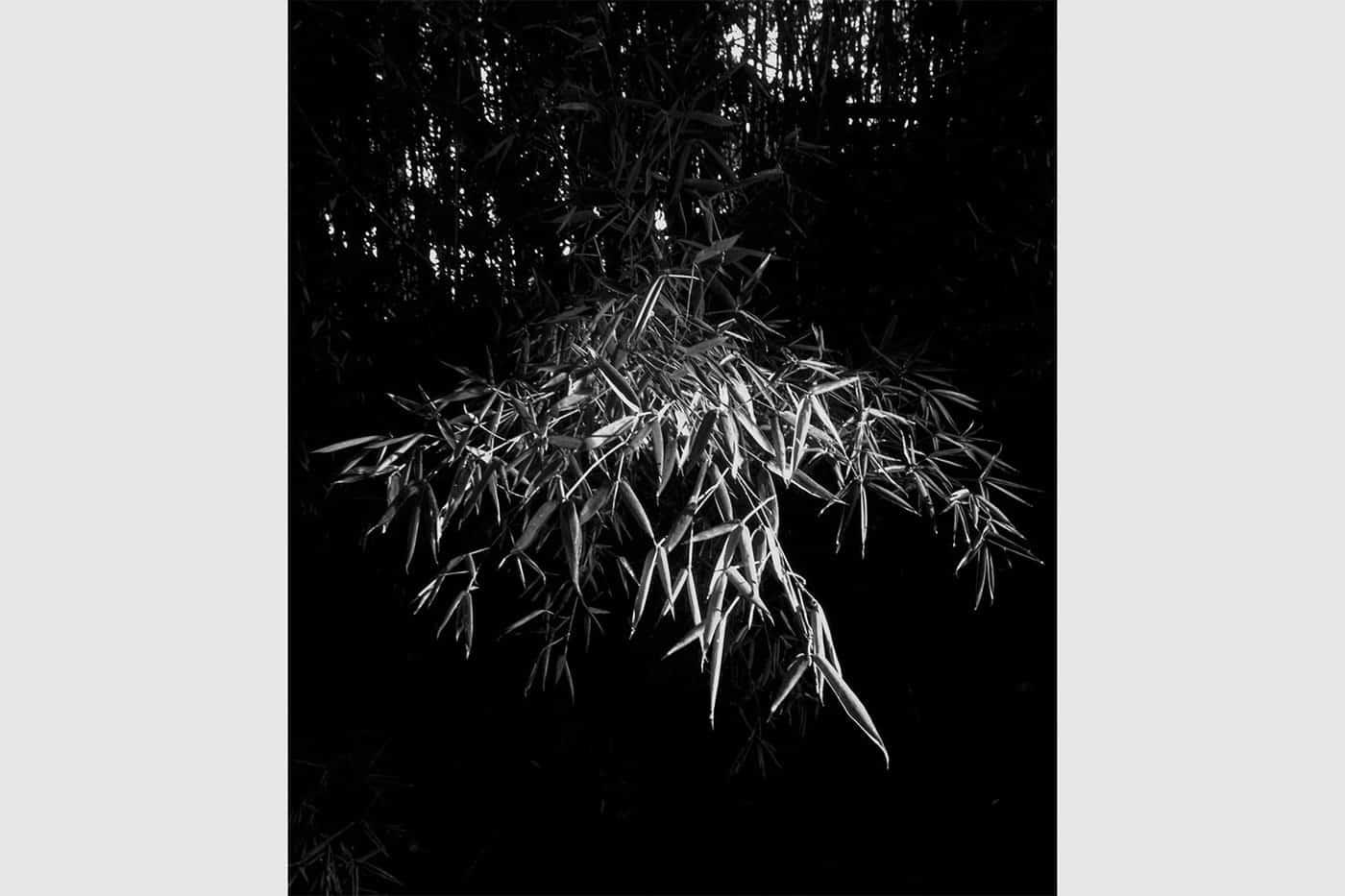 Cada mañana, los rayos de sol le dan protagonismo a algunos personajes de mi jardín, entre ellos, esta rama de bambú. Carolina Bello.