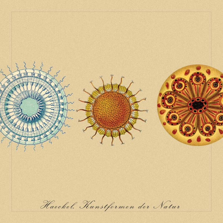 Adaptation from illustrations by zoologist Ernst Haeckel (1834-1919)